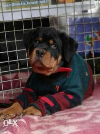 Imported Rottweiler Puppies Fci Full Documents