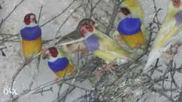 Gouldian finches for sale in Despatch