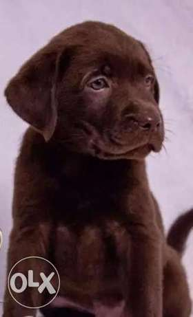 Imported Chocolate Labrador Top Quality Best price Full documents