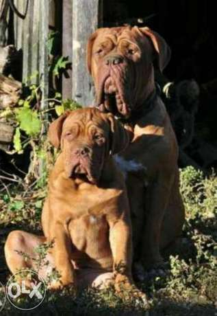 French mastiff puppies, imported from Ukraine with Pedigree