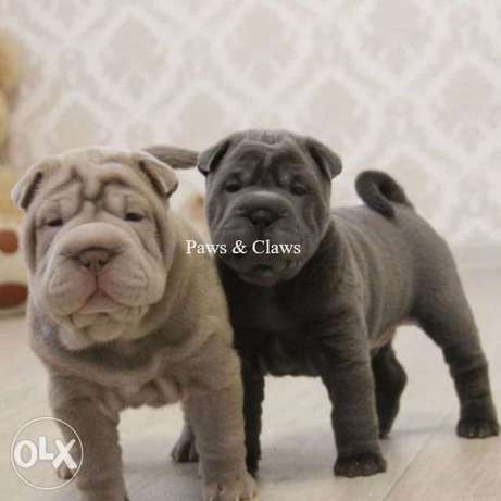 Sharpei become your best friend!