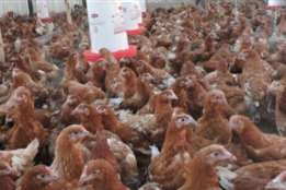 Quality point of Lay poultry birds for Poultry farmers