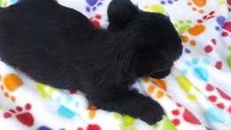 Male Scottish Terrier puppy for sale