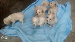2 months old Japanese Spitz X Terrier puppies for sale!!! :)