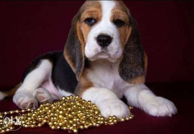 Beagle puppies with Passport and microchip