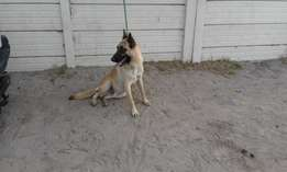 10 month old malinois male and x2 big dogs 2years old male and female