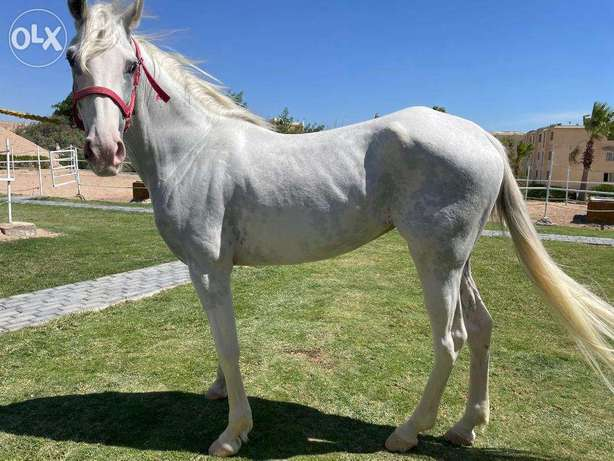 White horse for sell