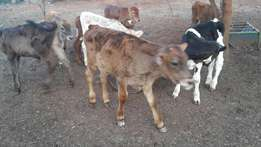 Switzer cross calves for sale