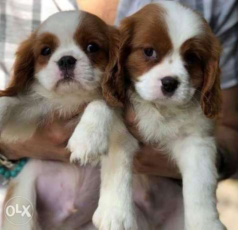 Cavalier King Charles puppies,imported with all documents..top quality