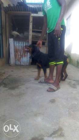 Adult female box head rottweiler for sale Kubwa - image 1