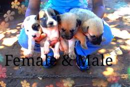 Husky cross German puppies for sale!