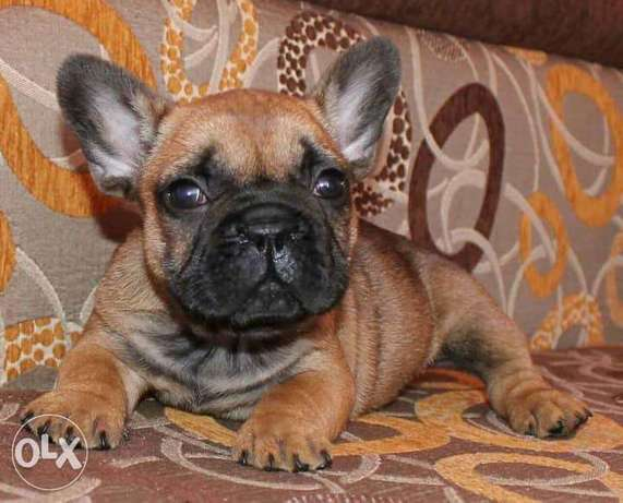 Imported Female French bulldog puppy Available NOW in EGYPT