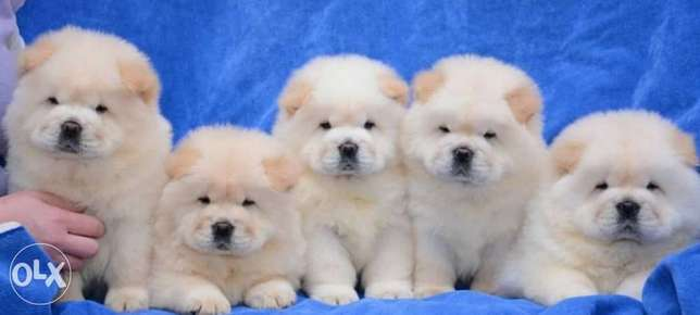 Chowchow puppies.. Imported.. Premium quality.. With all documents