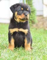 Super Rottweiler Puppies Imported