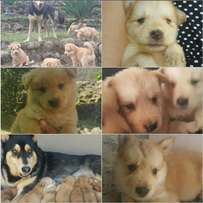 Malamute Husky X Puppies for sale