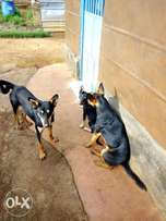 Smart Dogs for sale