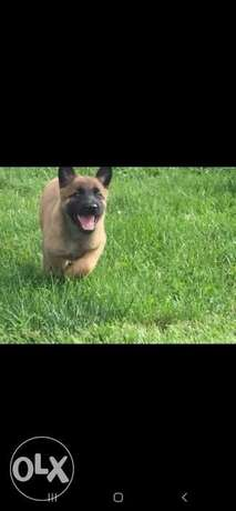 Malinois puppies imported from Europe with pedigree microchip and inte