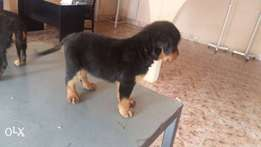 Rot puppies for sale call or WhatsApp