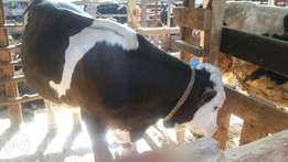 Hybreed Incalf heifers and lactating cows