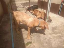 Boerboel four month male puppy in lagos