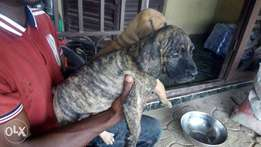 Boerboel puppies for sell