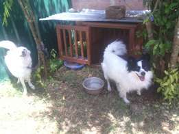 JAPANESE SPITZ on sale at 35k each