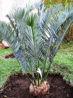 Kirkwood lehmannii cycad for sale