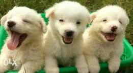 Lovely Samoyed Puppies