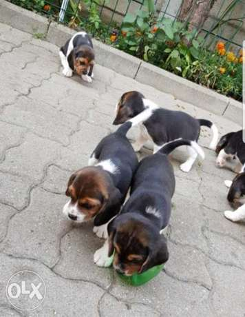 Special Offer Beagle Puppies