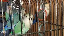 Hand reared baby lovebirds for sale