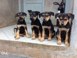 Mixed breed Rottweiler and German shepherd
