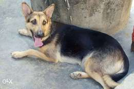 Adult female gsd