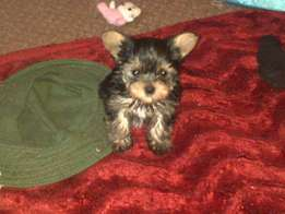 Pocket size yorkie