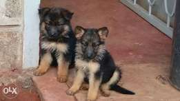 German Shepherd Puppies fully vaccinated and documents available