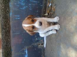 Bluetick Coonhound X pippies for sale