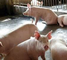 Grand Pigs and Piglets / Register Live Pigs and Piglets