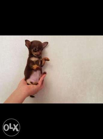 Top quality imported teacup chihuahua pupps with Pedigree