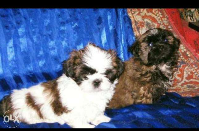 Imported shih tzu puppies already in cairo