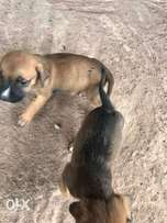 Male/Female Boerboel Puppies For Sale