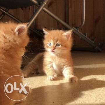Maine Coon kittens booking
