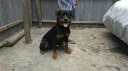 9 month old Pure Breed Female Rottweiler