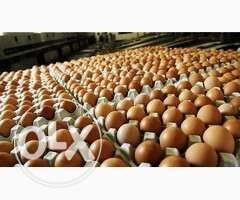 Fresh eggs available.Make more profit from our product.