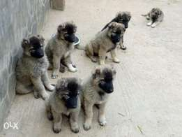 Caucasian Puppies For Sale