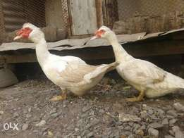 Matured male n female moscovy ducks for sale price is for both two