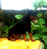 Pure Breed Rottweiler Puppy for Sale
