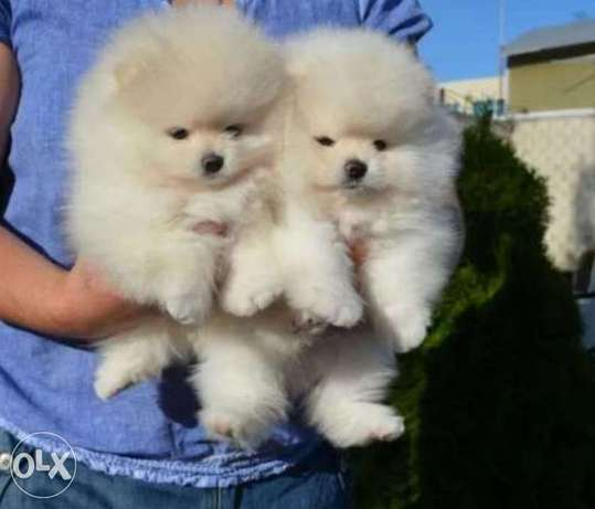 Imported teacup pomeranian puppies.. Champion bloodline with all dcs