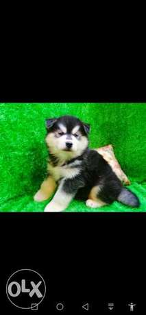 available husky puppies هاسكي