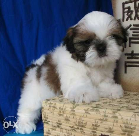 Get urself the best imported Shihtzu puppy with Pedigree