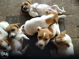 Jack Russells thorough breed leg puppies from R999