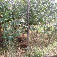 50 by 100 plot with 1yr old eucalyptus trees